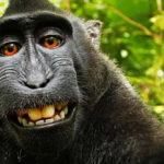 """A fotós nyerte a """"majomszelfipert"""""""